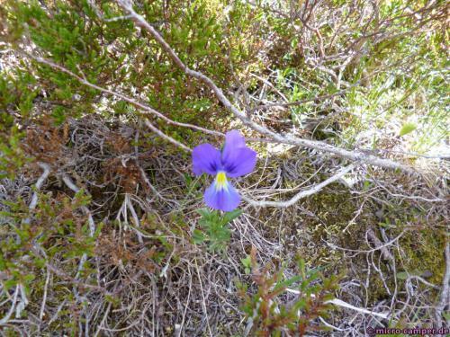 Dies ist kein Stiefmütterchen, aber wie heißt die Blume denn?