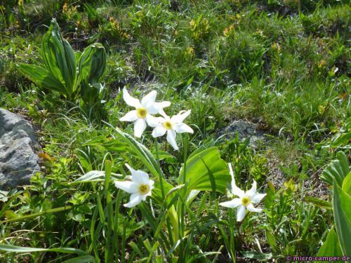 Eine Mini-Narzisse? Ich bin botanisch nicht wirklich bewandert.