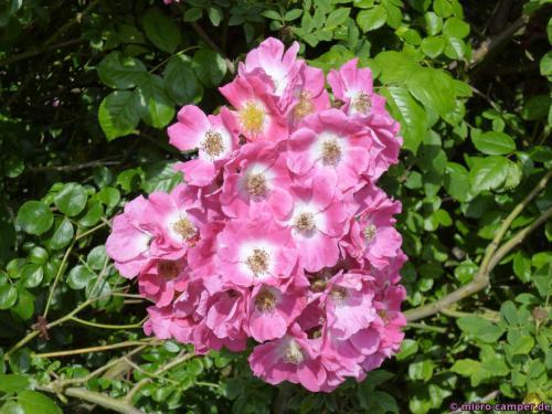 Im Ürziger Gewürzgarten blühen die Rosen ...
