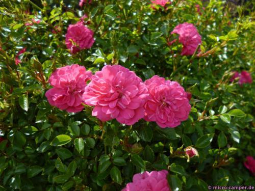 ... ja, genau, die Rosen ...
