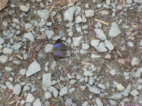 dieser leuchtende Schmetterling ist lieber zu Fuß unterwegs