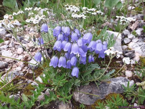 Glockenblumen, auch in unseren heimischen Wäldern zu finden