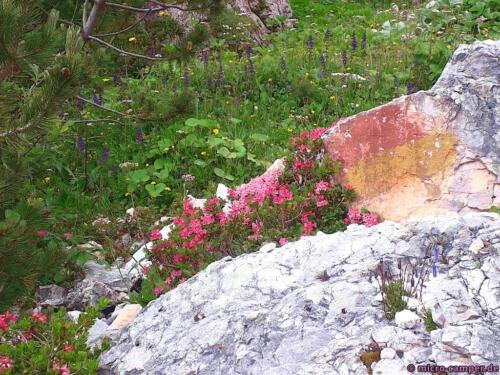 Die Alpenrosen sind reine Bergbewohner