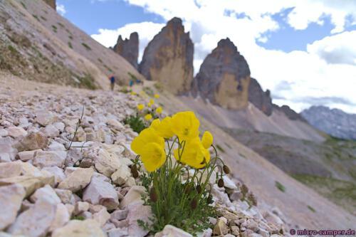 Der Alpenmohn blüht leuchtend gelb