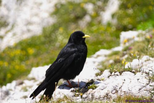 Eine Alpendohle, die Vögel sind kaum einmal still und versuchen überall Essensreste abzustauben