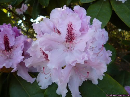 Rhododendron wächst und gedeiht überall im Ammerland